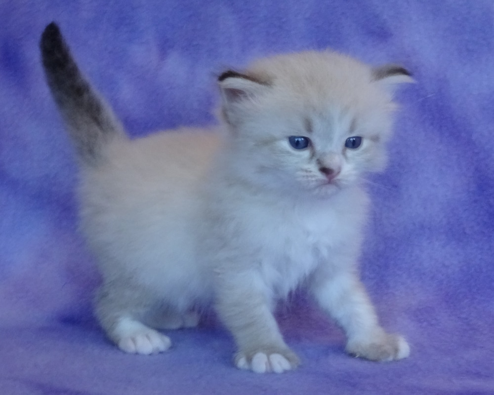 Our Kittens Siberian Dynasty Cattery