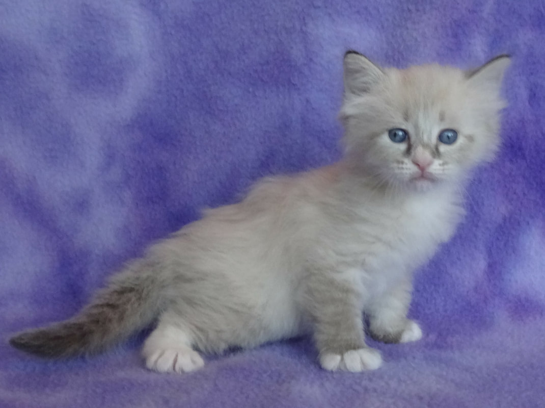 Our Kittens - Siberian Dynasty Cattery